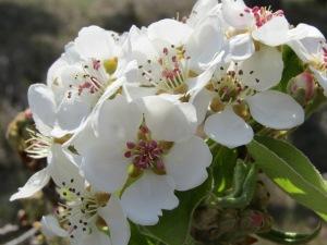 Flores.almendro