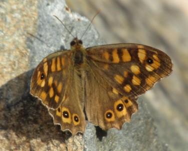 papallona2